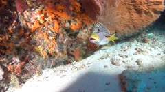 Diagonal-Banded Sweetlip with red fins at sleaning station