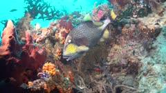 Titan Triggerfish Feeding behavior Distroying Coral reef