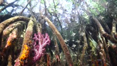 Seascape Red mangrove from below with soft coral Obicular Cardinalfish to surface reflections and trees