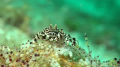 Zebra Crab on Fire Urchin headon