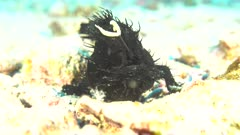 Striated Shagy Frogfish working the louer