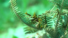 Squat Lobster on Crinoid using stick harassing environment