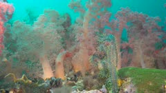Seascape Red Soft Coral Forest with yellow crinoid