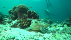 Green Turtle scratching back on coral environment behavior