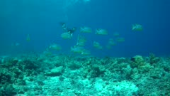 Threadfin Snapper school with Diver Eileen Choy snorkeling down
