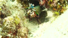 Peacock Mantis Shrimp Doing a front Flip