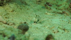 Crab goby feedingby sifting sand through gills on Sand