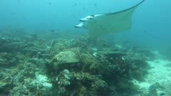 Manta Ray Passing close