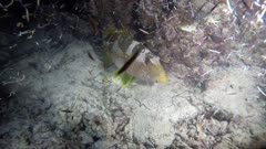 Grouper fish sleeping under table coral with Worms