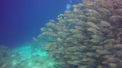 Huge School of Bigeye Trevally fish school into blue hunting behavior with Eileen Choy