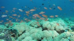 Seascape Anthias school on Octocoral field