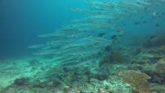 Cheron Barracuda school side from reef to blue