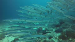 Cheron Barracuda school side from reef to blue