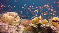 Red Grouper with Anthias Basslets fish school on reef colorful