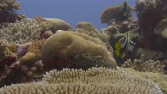 Bannerfish, possibly Masked Bannerfish and Horned Bannerfish, swimming among healthy coral