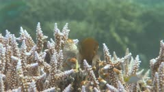 Damselfish swimming over coral branches