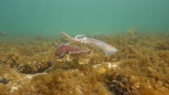 Southern Calamari Squid and Giant Australian Cuttlefish Interactions; Squid attempts to mate with female Cuttlefish