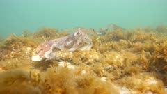 Southern Calamari Squid and Giant Australian Cuttlefish Interactions