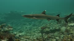Whitetip Reef Shark swimming over a coral reef
