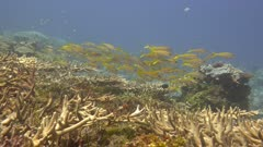 Yellow Goatfish swimming over a coral reef