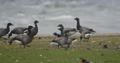 Black Brant amongst a flock of Dark-bellied Brent geese