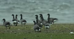 Black Brant moves through a flock of Brent geese