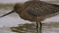 Bar-tailed Godwit probes for food