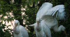 Three juvenile spoonbills on the nest