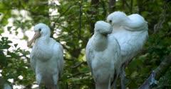 Three spoonbill chicks preening