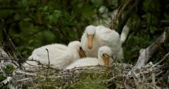 Three Spoonbill chicks in the nest