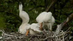 Spoonbill chicks stretching there wings