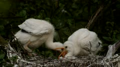 Young Spoonbills in the nest
