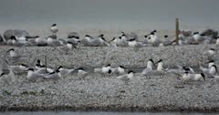 Sandwich Terns displaying