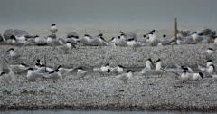 Sandwich Terns displaying