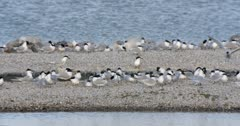 Sandwich Terns nesting