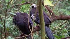 Pair of Black-fronted Piping-guan in a tree