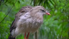 Red-legged seriema in a tree