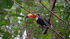 Toco Toucan in the trees