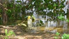 Capped Heron stalking along the shore