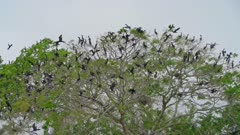 Large flock of Neotropical Cormorant flying above the river