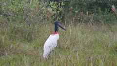 Jabiru takes flight in the wetlands