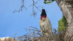 Jabiru in a nest high in the trees