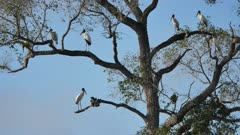 Flock of Wood Stork high in the trees
