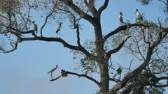 Flock of Wood Stork take flight from the trees