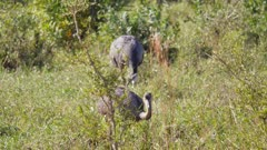 Greater Rhea feeding in wetlands