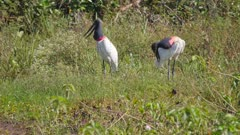 Pair of Jabiru preening