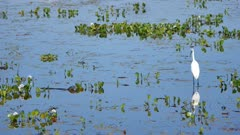 Great Egret stalking as small Caiman swims by