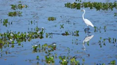 Great Egret stalking near a small Caiman