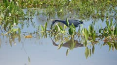 Little Blue Heron stalking in the shallows