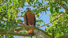 Black-collared Hawk perched in a tree